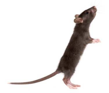 black rat crawling on critter ridder homepage text