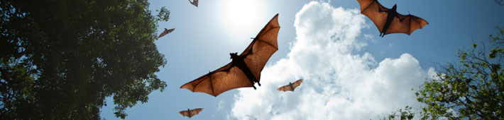 Bats flying during the daytime.
