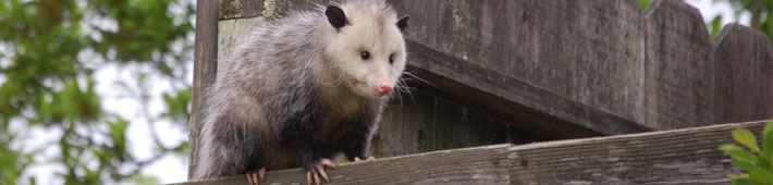 An opossum perched on a fence outside in Texas.