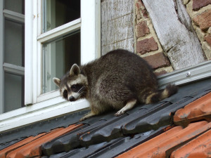 A raccoon on a roof.
