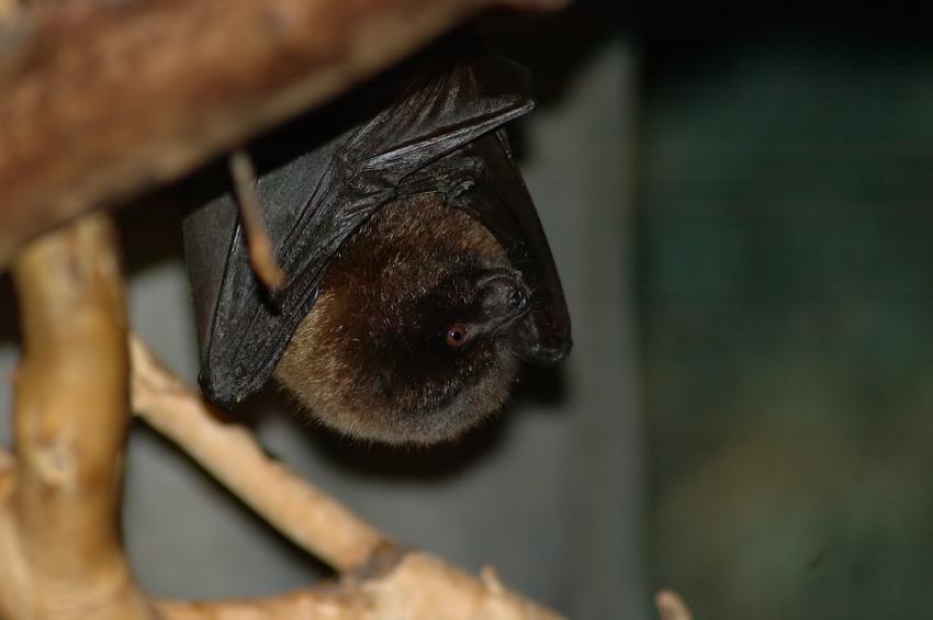 All About Bats In Austin Tx Critter Ridder Texas