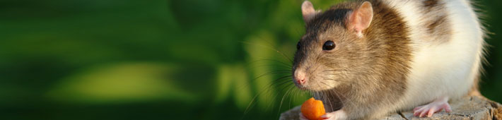 A mouse eating a small piece of carrot.
