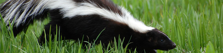 A skunk outside in the grass during daytime.