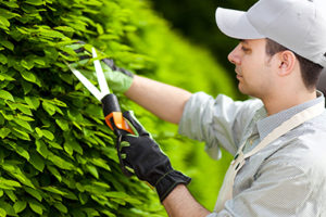 A man trimming a shrub with hedge clippers outdoors.
