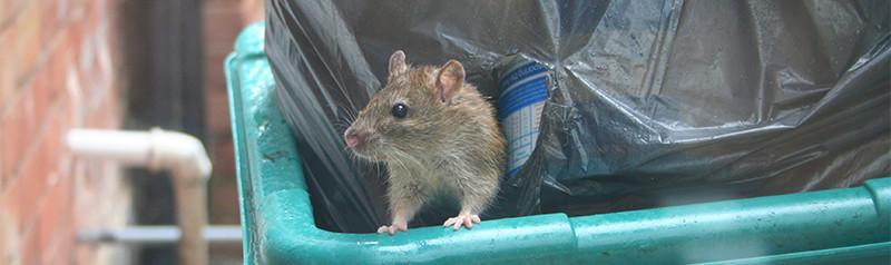 dumpster-rat-comp