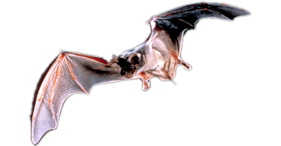 Mexican Free Tailed Bats In Austin Tx Critter Ridder