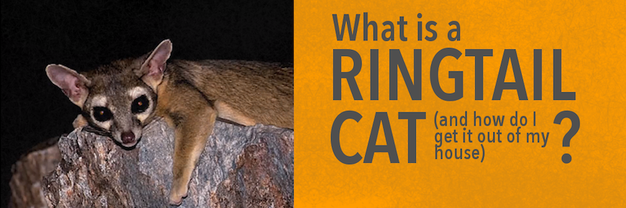 ringtail cat in a tree