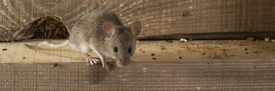 Identifying Dead Animals In Your Walls And Home Critter