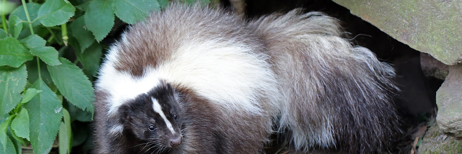 How To Get Skunk Smell Out of Your House Critter Ridder Texas