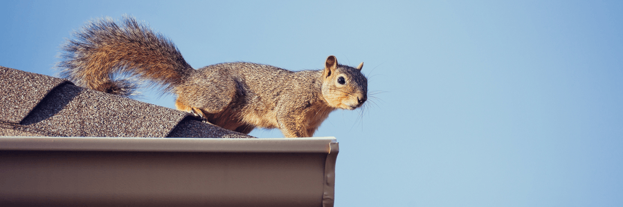 How To Get Rid Of Squirrels In Your Roof Critter Ridder