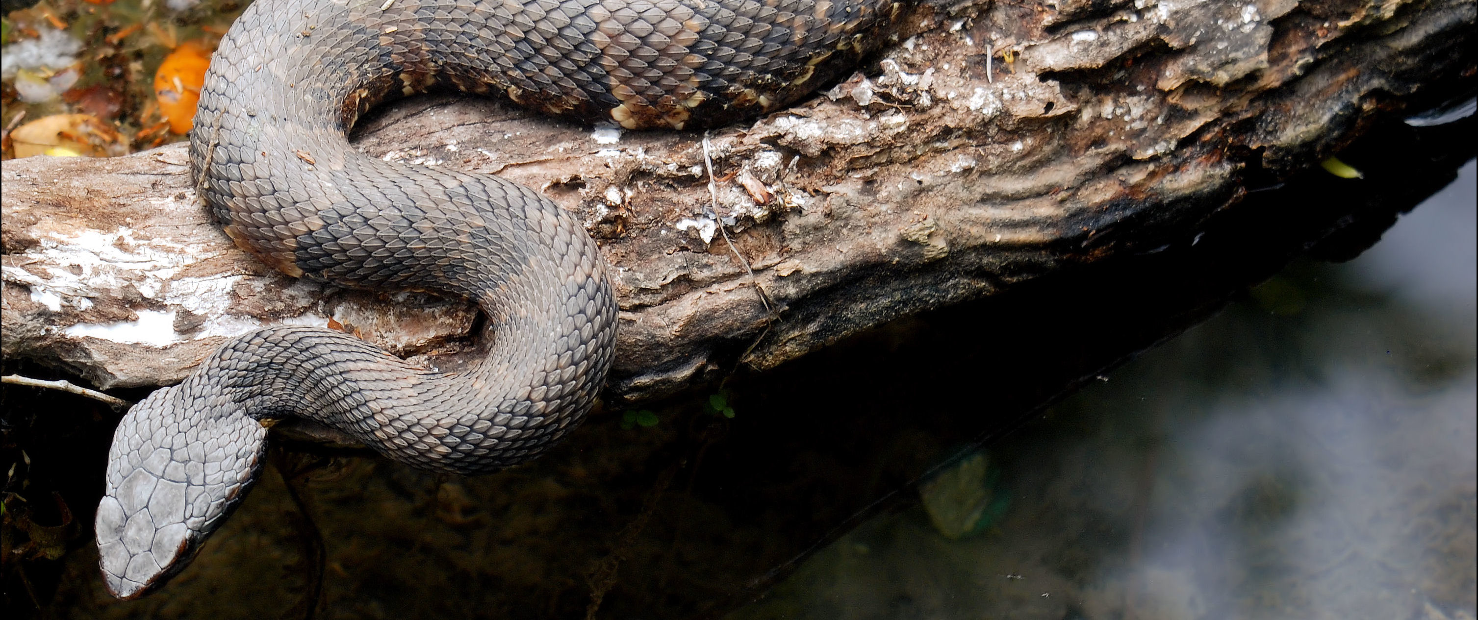 Venomous Texas Snakes How To Tell If A Snake Is A Texas