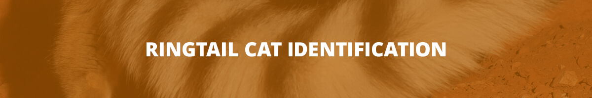 Ringtail Cat Identification